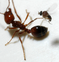 Fire-ant-and-parasitic-Phorid-fly.png